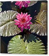 Pink Water Lily IIi Canvas Print