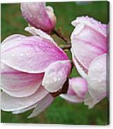 Pink White Wet Raindrops Magnolia Flowers Canvas Print