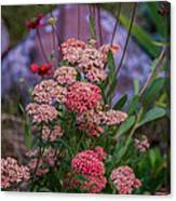 Pink Yarrow Canvas Print