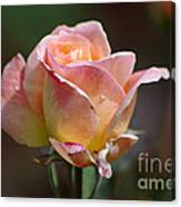 Pink Yellow Rose 01 Canvas Print