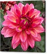 Pink Zinnia Flower Canvas Print