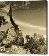 Pinon Pine Canvas Print