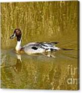 Pintail Duck Canvas Print