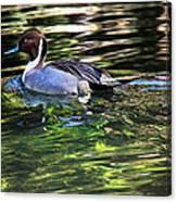 Pintail Canvas Print