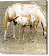 Pinto Mare And Filly Canvas Print