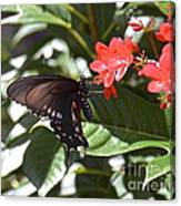 Pipevine Swallowtail IIi Canvas Print