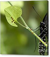 Pipevine Swallowtail Mother With Eggs Canvas Print