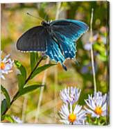 Pipevine Swallowtail On Asters Canvas Print