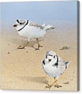 Piping Plovers Canvas Print