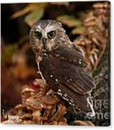 Pixie Saw Whet Owl Watching You Canvas Print
