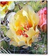 Plains Prickly Pear Flower Canvas Print