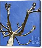 Plane Tree Canvas Print