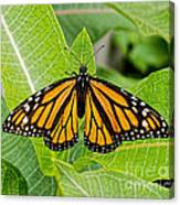 Plant Milkweed And Save The Monarch Butterfly Canvas Print