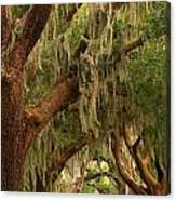 Plantation Oak Trees Canvas Print