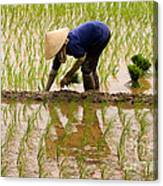 Planting Rice Canvas Print