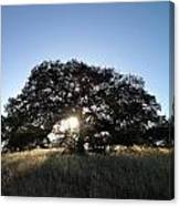 Plateau Oak Tree Canvas Print