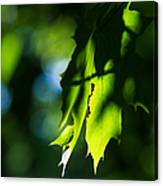Play Of Light On Maple Leaves Canvas Print