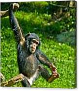 Playful Chimp Canvas Print