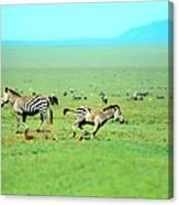 Playfull Zebras Canvas Print