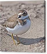 Plover Lover.. Canvas Print