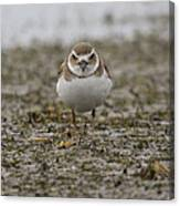 Plover Canvas Print