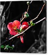 Plum Blossom 3 Canvas Print