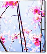 Plum Blossoms In Bloom Canvas Print