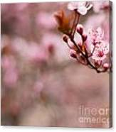 Plum Flower On Branch - Spring Concept Canvas Print