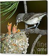 Plumbeous Vireo Feeding Chicks In Nest Canvas Print