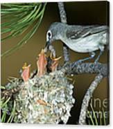 Plumbeous Vireo Feeding Worm To Chicks Canvas Print