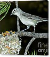 Plumbeous Vireo With Four Chicks In Nest Canvas Print