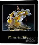 Plumeria Alba Canvas Print