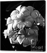 Plumeria Black White Canvas Print