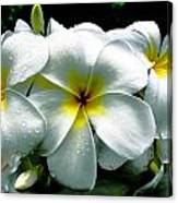 Plumeria Bunch Canvas Print