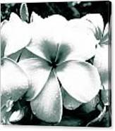 Plumeria Bunch No Color Canvas Print