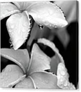 Plumeria Drip Canvas Print