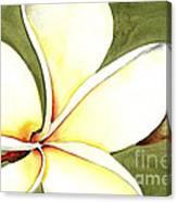 Plumeria Flower Canvas Print