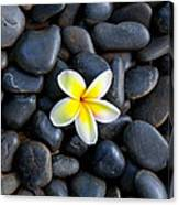 Plumeria Pebbles Canvas Print