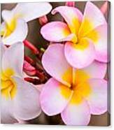 Plumerias Of Paradise 12 Canvas Print