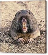 Pocket Gopher Chatting Canvas Print