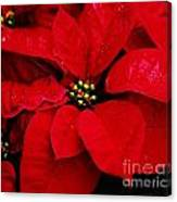 Poinsettia # 2 Canvas Print