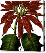 Poinsettia A Traditional Christmas Plant Vintage Poster Canvas Print