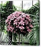 Poinsettia Tree Longwood Gardens Canvas Print