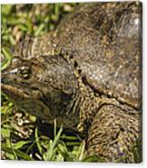 Pointed Nose Florida Softshell Turtle - Apalone Ferox Canvas Print