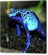 Poison Blue Dart Frog Canvas Print