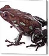poison dart frog Panama Canvas Print