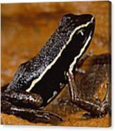 Poison Dart Frog Portrait Amazonian Canvas Print