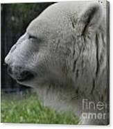 Polar Bear 5 Canvas Print