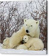 Polar Bear And 3 Month Old Cubs Canvas Print