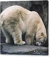 Polar Bear At Zoo Canvas Print